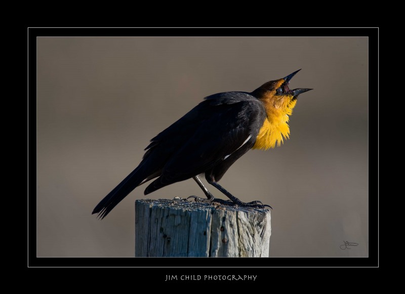 Barkingyellowheadedblackbird