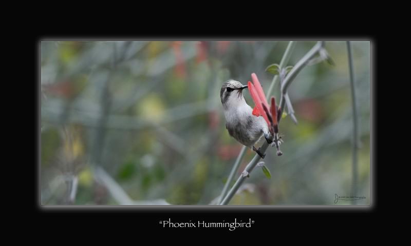 phoenixhummingbird