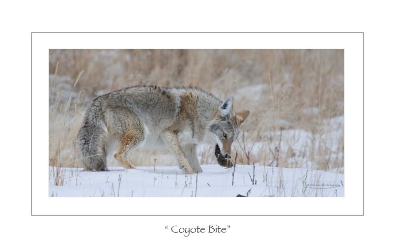 Coyote Bite