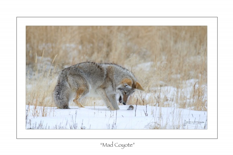Mad coyote