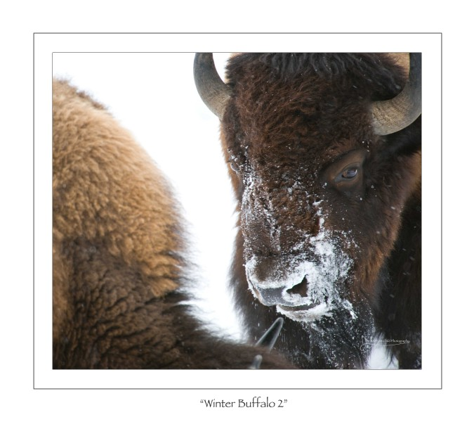 Winter Buffalo 2