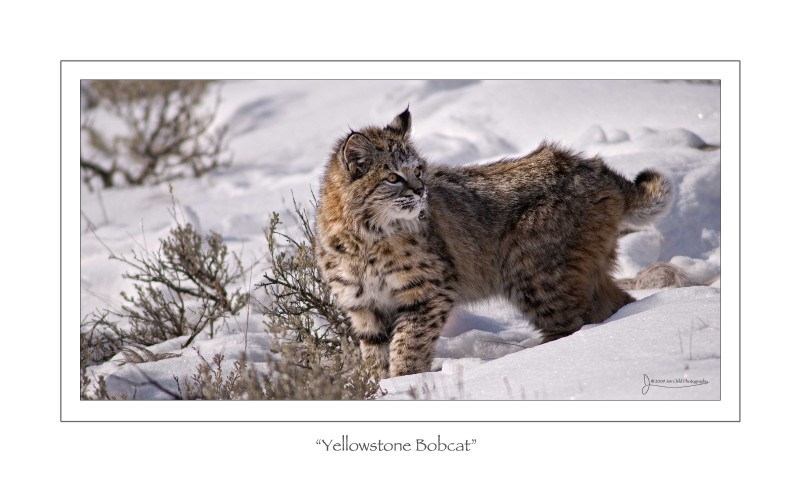 Yellowstone Bobcat