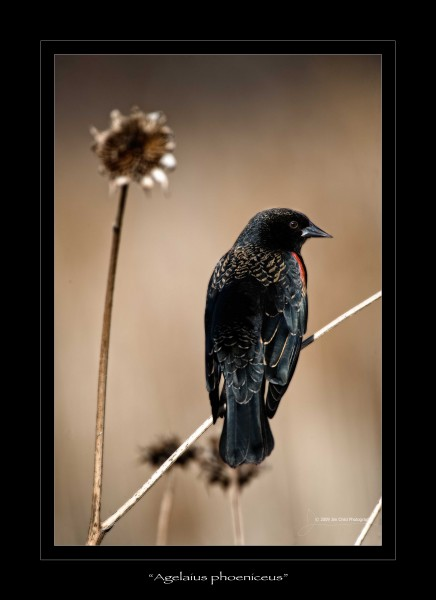 Agelaius phoeniceus red winged blackbird
