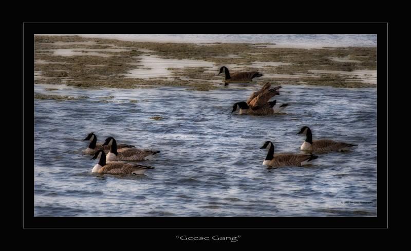 Geese Gang