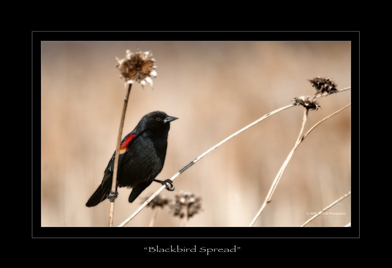 blackbird spread