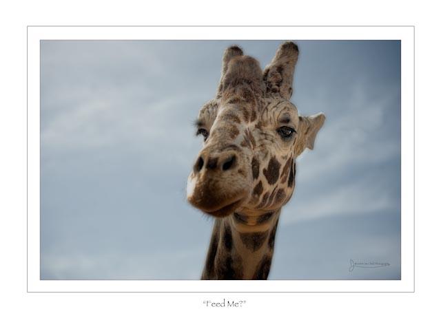 Giraffefinish