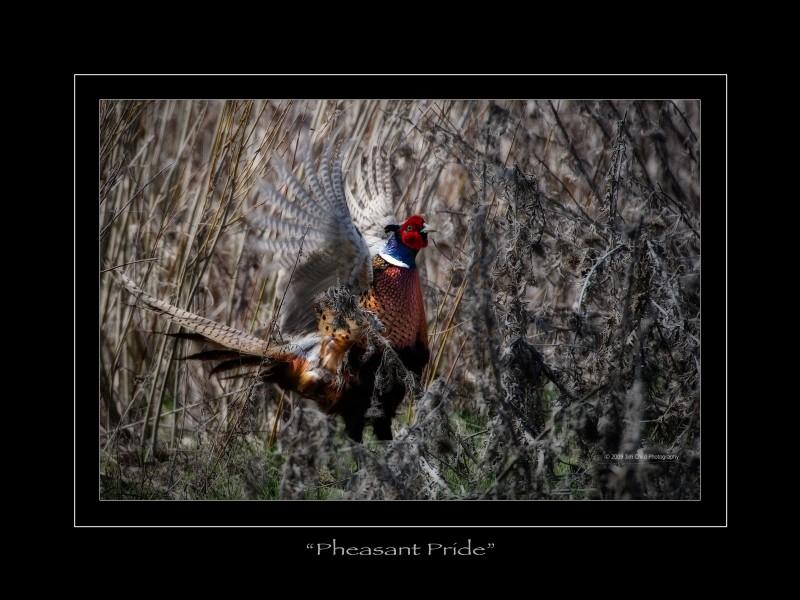 Pheasantpride