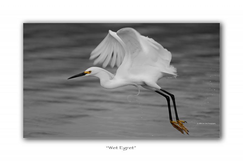 Wet Egret