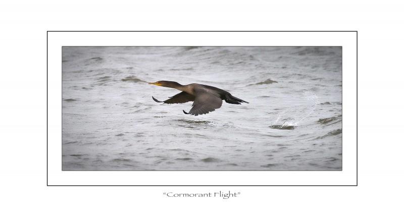 cormorantflight