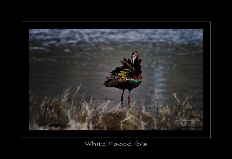 whitefacedibis