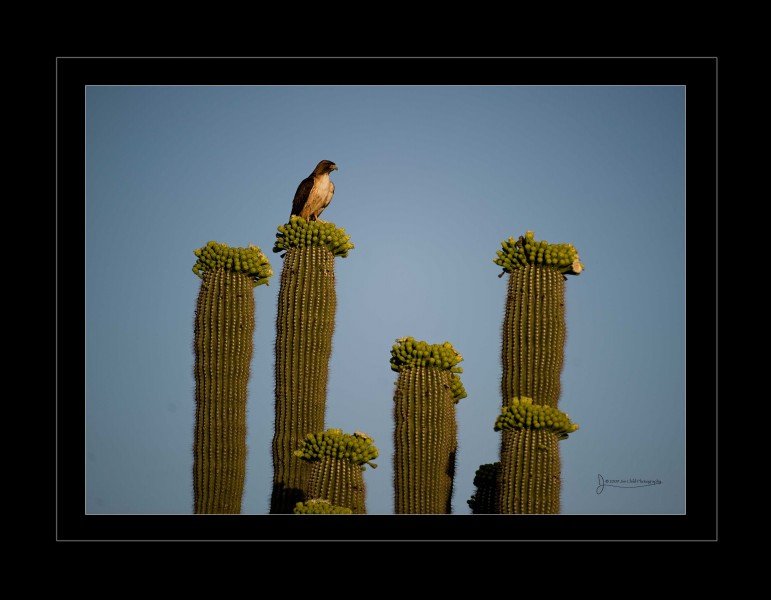 Arizonahawkoncactus