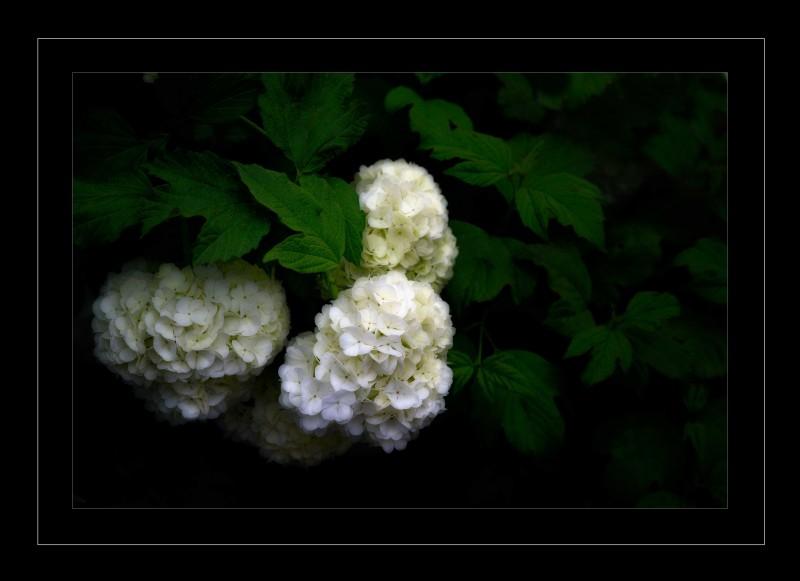 ballflowers