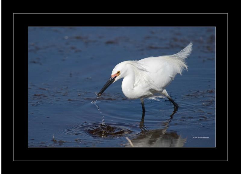 egretfishduringsplash