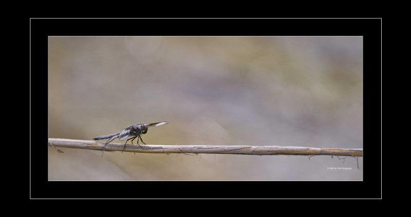 dragonflybranch