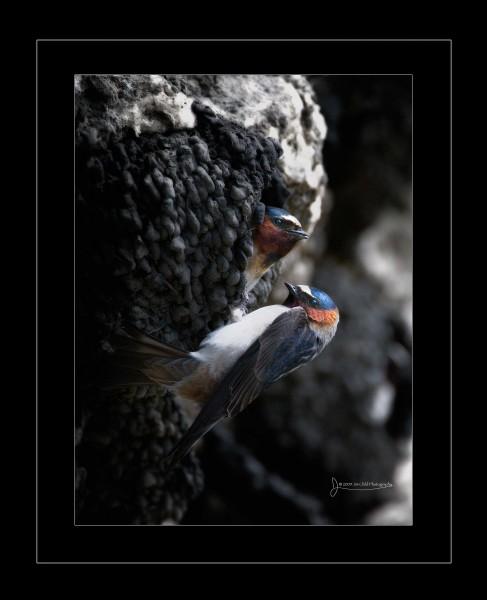 swallowpairatnest