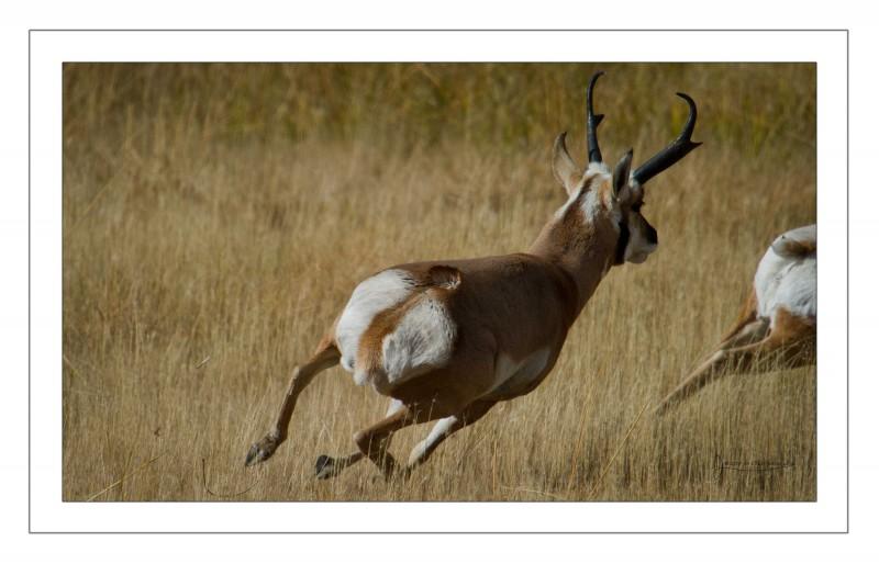 Antelope chase border