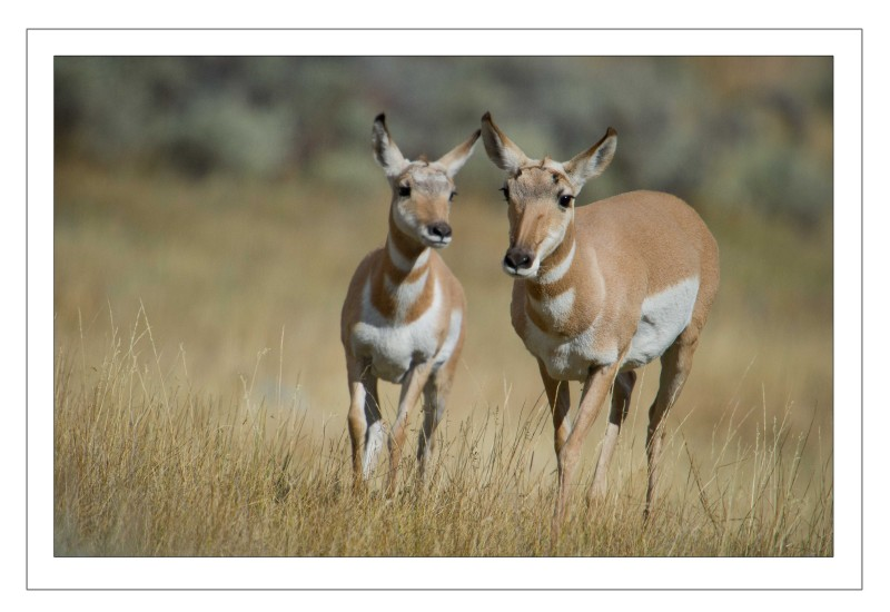 Antelope mom and kid