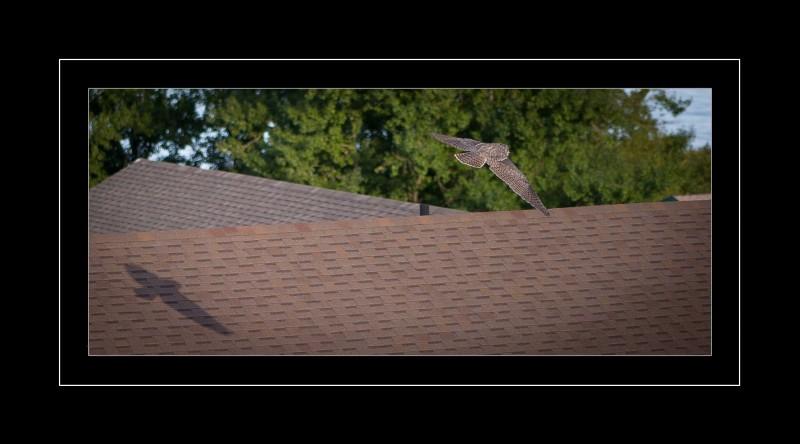 Barn Owl flyover roof