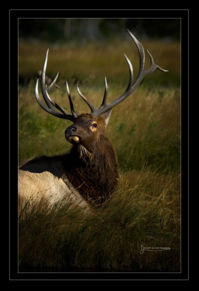Bull elk down head tiltbrdr