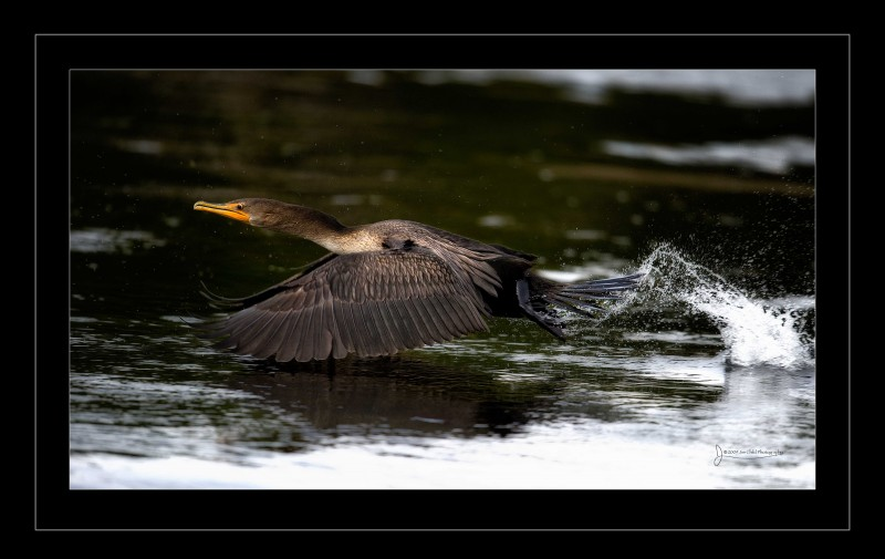 Great Black Cormorant borderfly