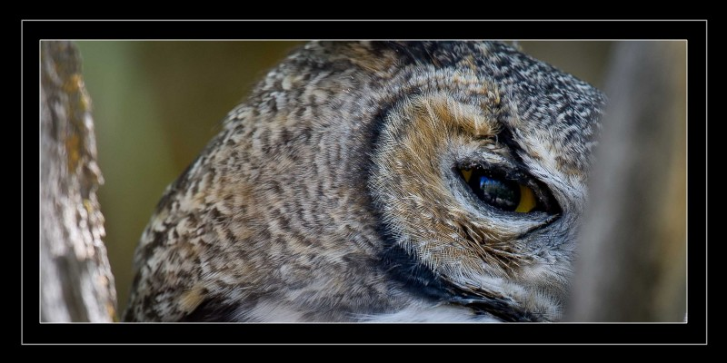 Great Horned Owl Bad Eye Extreme Close