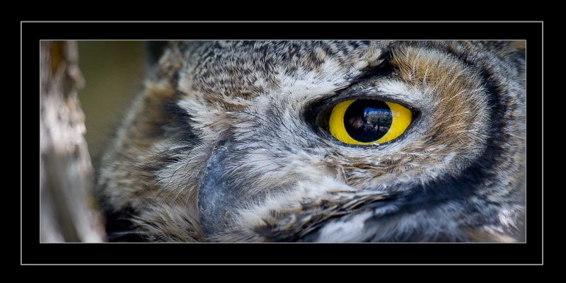 Great Horned Owl Eye Extreme Close2
