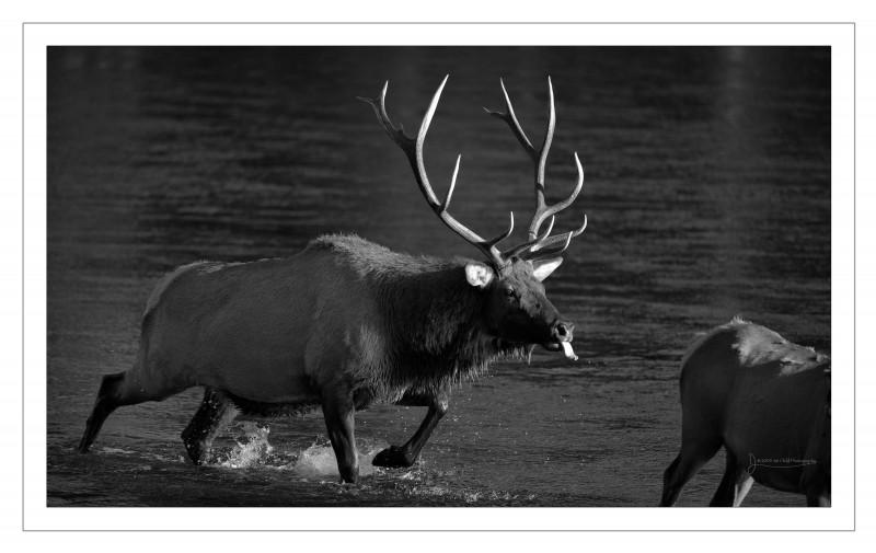 bull sniff cow b&W border