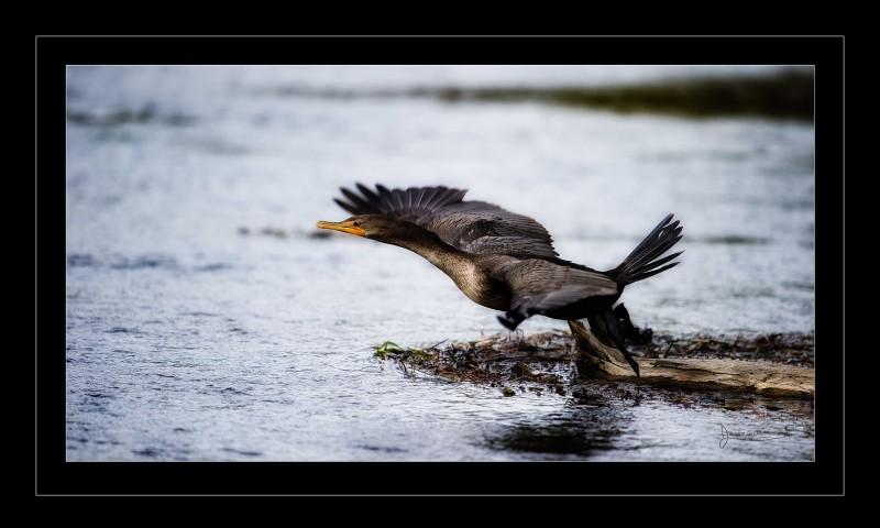 cormorant start fly