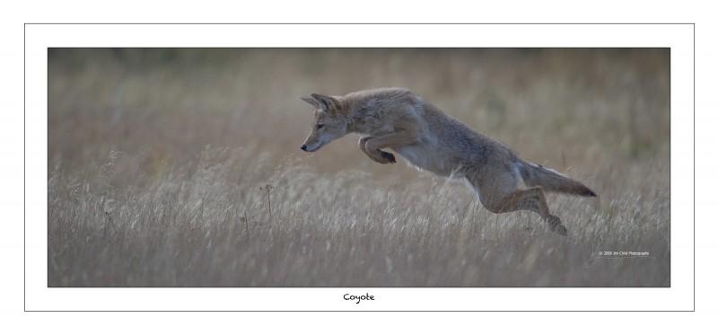 Coyote Jump2