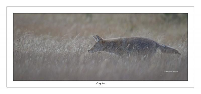 Coyote hunt1