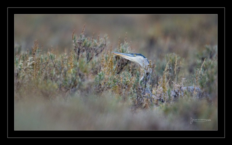 Great Blue Heron Sage head turn border