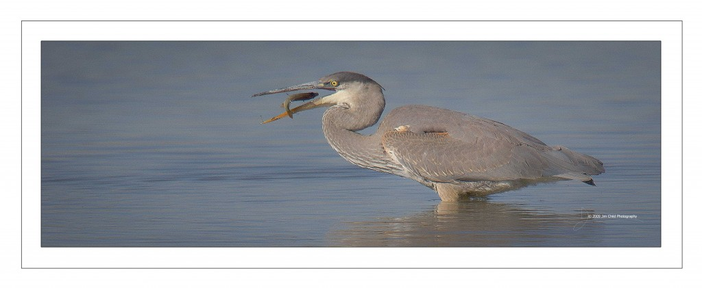Heron bird in mouth