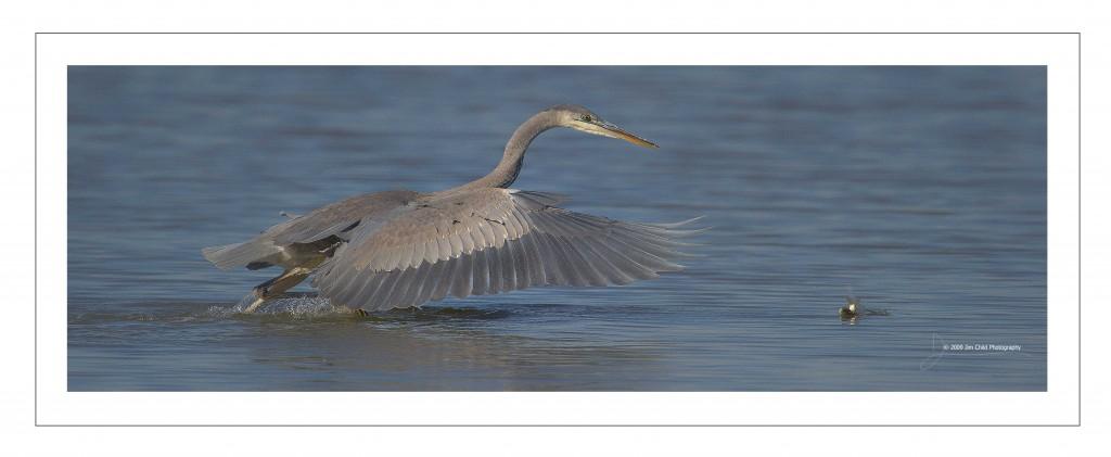 Heron chase fish