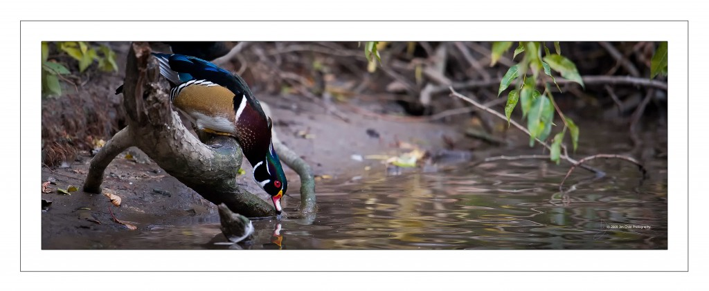 Wood duck drink
