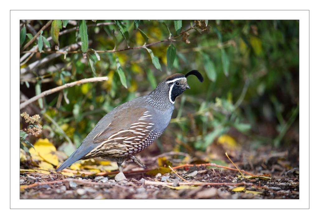 quail in
