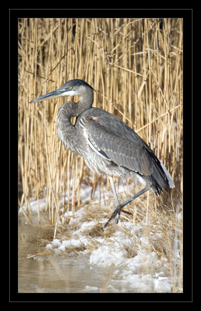 Blue Heron Profile