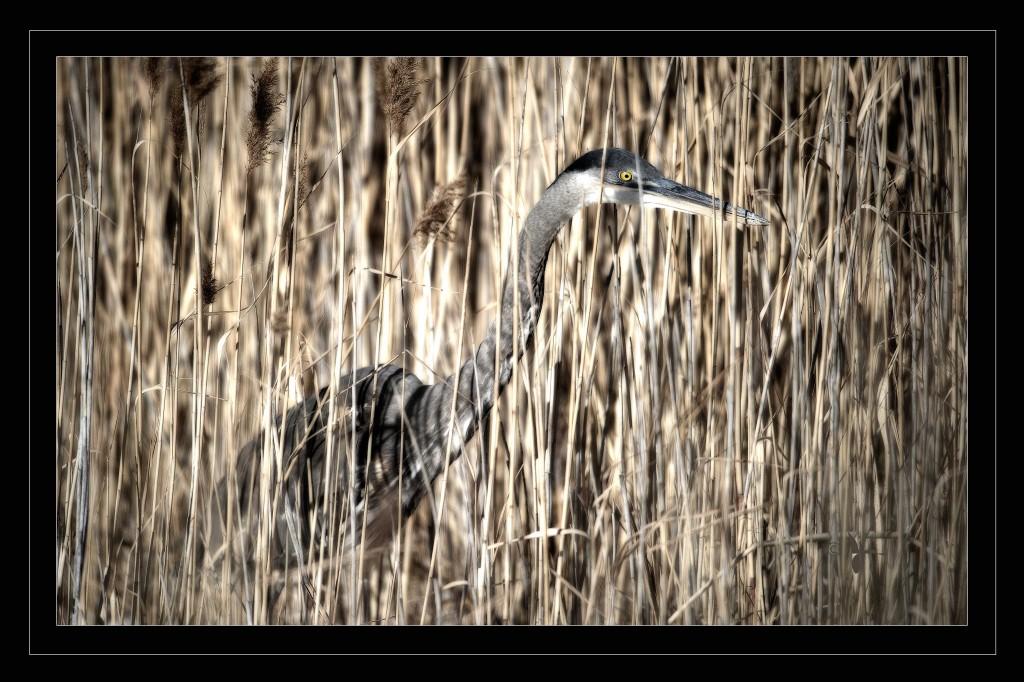 Blue Heron in Reeds