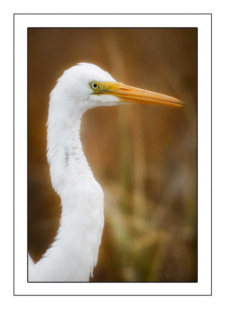 Egret close