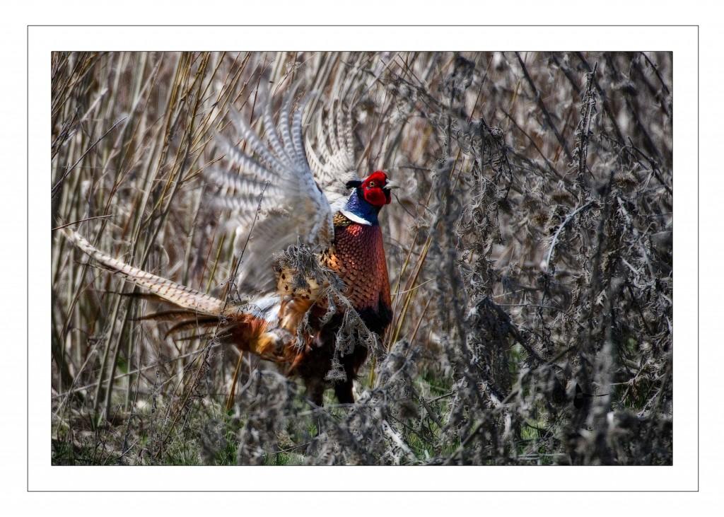 pheasant crow2