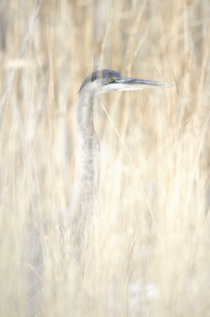 Blue Heron in weedssmall