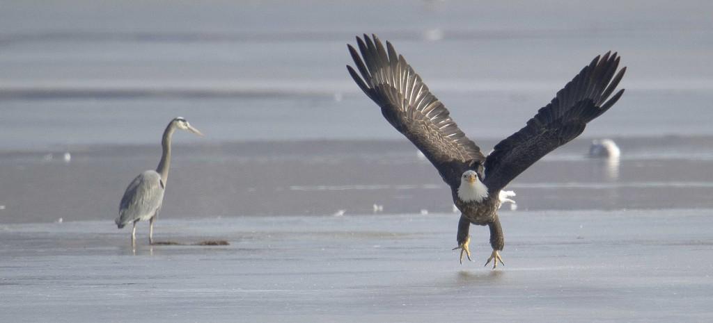 Eagletakeoffheron