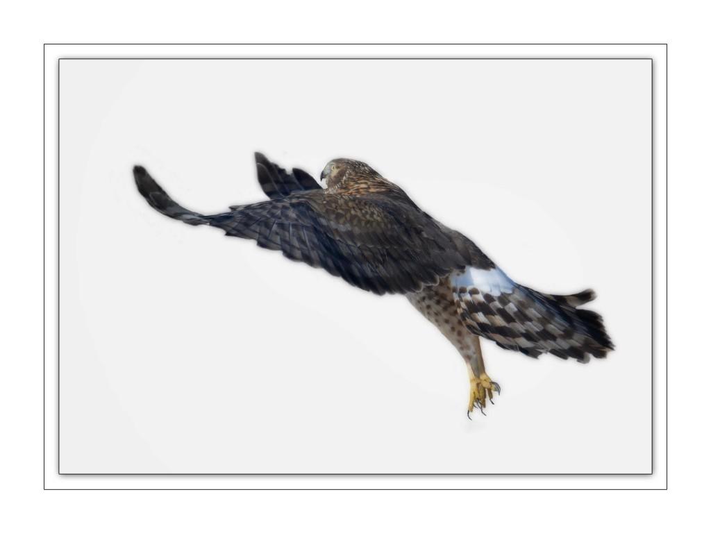 Hawk Jump