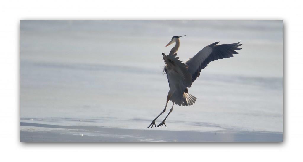 Heronland