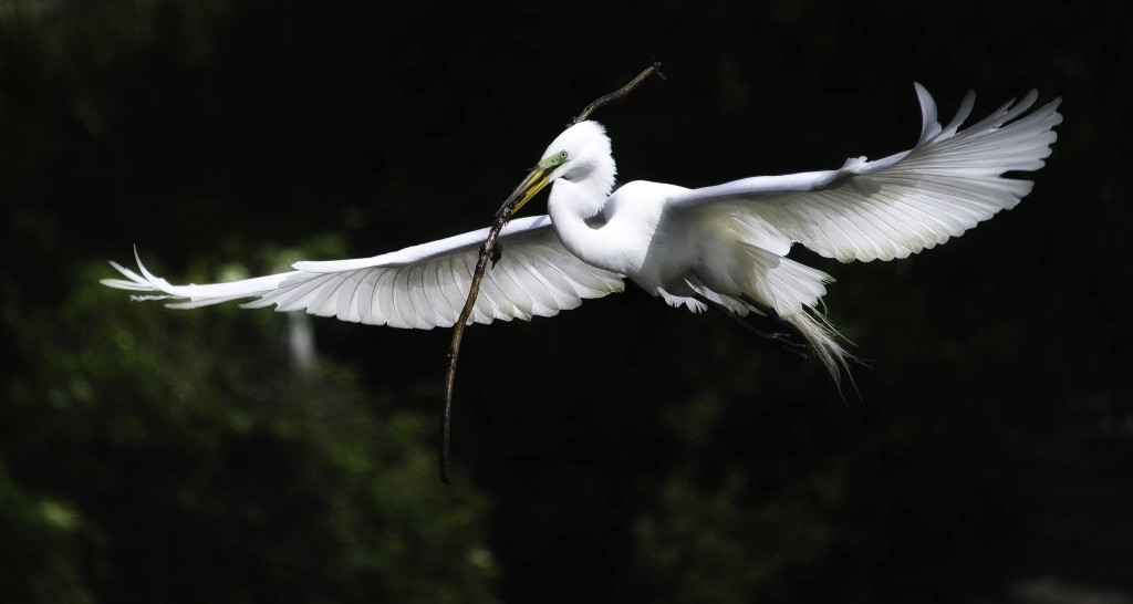 giant egret stick in mouth fly