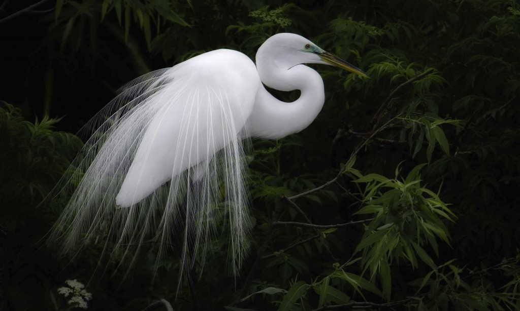great egret big feathers