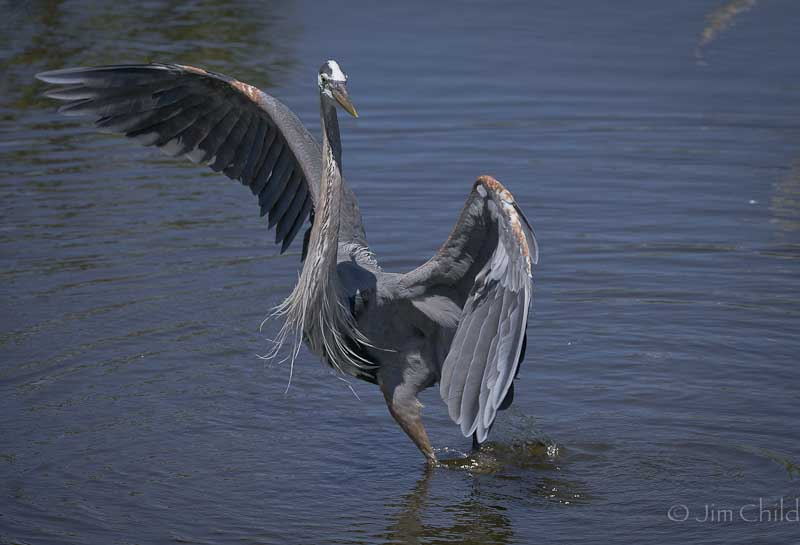 Dancing Blue Heron-2