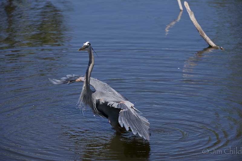 Dancing Blue Heron-3