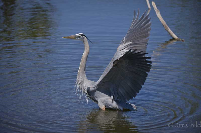 Dancing Blue Heron-4