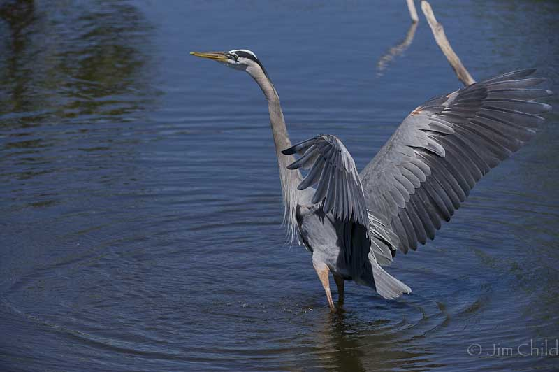 Dancing Blue Heron-5