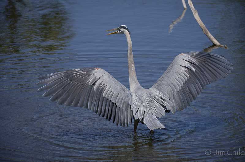 Dancing Blue Heron-6
